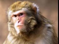 Monkey menace in Braj