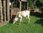 Cambodia cows 019.jpg