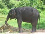 Elephant farm in Ankgor 004.jpg