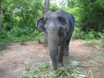 Elephant farm in Ankgor 008.jpg