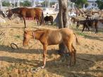 Camel festival 048.jpg