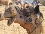 Camel festival 054.jpg