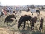 Camel festival 063.jpg