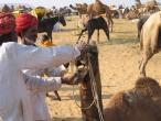 Camel festival 064.jpg