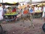 India cetovani 001.jpg