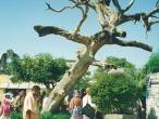 Panca-Pandava-tree.jpg
