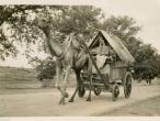 Camel Drawn Wagon 1940.jpg