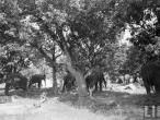 Elephants, Cattle Fair Bihar1952.jpg