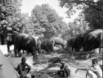 Elephants in Sonepur1952.jpg