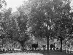 Elephants, Sonepur Bihar 1952.jpg