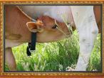 New Gokula farm 022.jpg