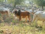 Cows a007.jpg
