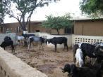 Cows a024.jpg