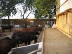 Cows a027.jpg