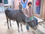 Cows a049.jpg
