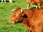 Cows from Belgium 001(2).jpg