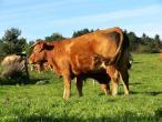 Cows from Belgium 004(2).jpg