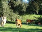 Cows from Belgium 006(2).jpg