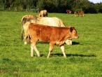 Cows from Belgium 010(2).jpg