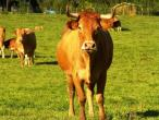 Cows from Belgium 011(2).jpg
