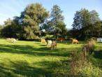 Cows from Belgium 015(2).jpg