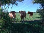 Cows from Belgium 017(2).jpg