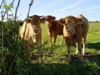Cows from Belgium 018(2).jpg