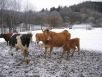 Czech cow protection 026(2).jpg
