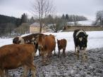 Czech cow protection 027(2).jpg