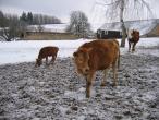 Czech cow protection 030(2).jpg