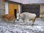 Czech cow protection 035(2).jpg