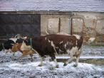 Czech cow protection 036(2).jpg