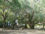 Radha Krishna - tree 2.JPG