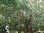 Radha Krishna - tree 3.JPG