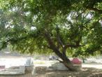Radha Krishna - tree 4.JPG
