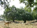 Radha Krishna - tree 5.JPG