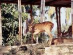ISKCON deer 2.jpg