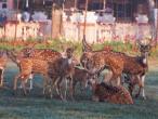 ISKCON deer 4.jpg