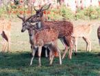 ISKCON deer 5.jpg