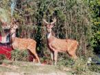 ISKCON deer 6.jpg