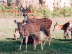 ISKCON deer 7.jpg