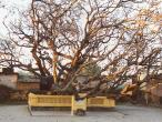 Kazi tree 2.jpg