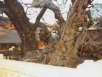Kazi tree close.jpg