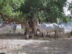 Baelvana Cows 2 new.jpg