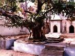Advaita Vat tree 2.jpg