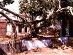 Advaita Vat tree.jpg