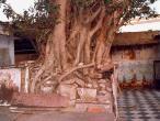 Vamsivata-tree-3.jpg