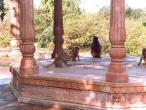 Kaliya-ghat-monkeys-1.jpg