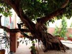Kaliya ghat, tree 04.jpg