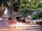 Kaliya ghat, tree 07.jpg